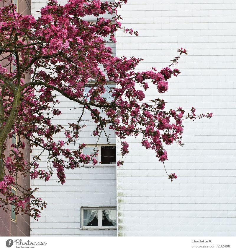 Lichtblick Pflanze Frühling Baum Blüte Obstbaum Kirschbaum Kirschblüten Hochhaus Wohnhochhaus Mehrfamilienhaus Wohnsiedlung Mauer Wand Fassade Fenster