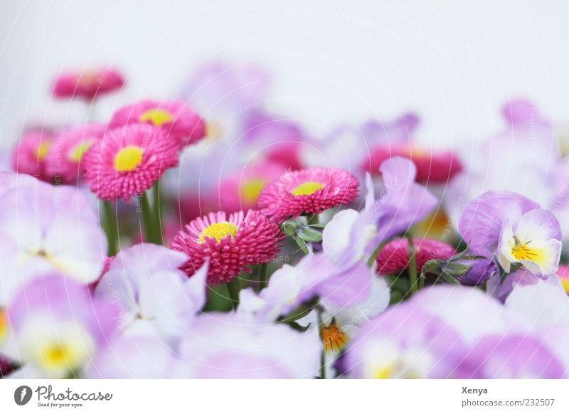 Blütenmeer Pflanze Blume Blühend ästhetisch violett rosa weiß Frühlingsgefühle zart Gänseblümchen Stiefmütterchen Farbfoto Außenaufnahme Makroaufnahme