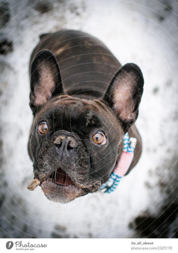 Schnapp! Tier Haustier Hund Französische Bulldogge 1 fangen Farbfoto Gedeckte Farben Außenaufnahme Hintergrund neutral Tag Schwache Tiefenschärfe
