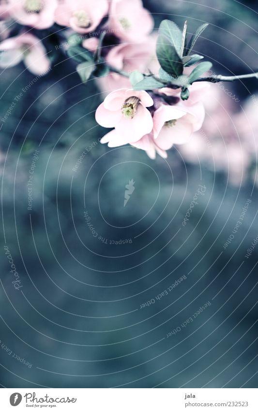 quitten in bloom IV Natur Pflanze Sträucher Blatt Blüte Nutzpflanze schön zart zartes Grün Quittenblüte Farbfoto Außenaufnahme Menschenleer Textfreiraum unten