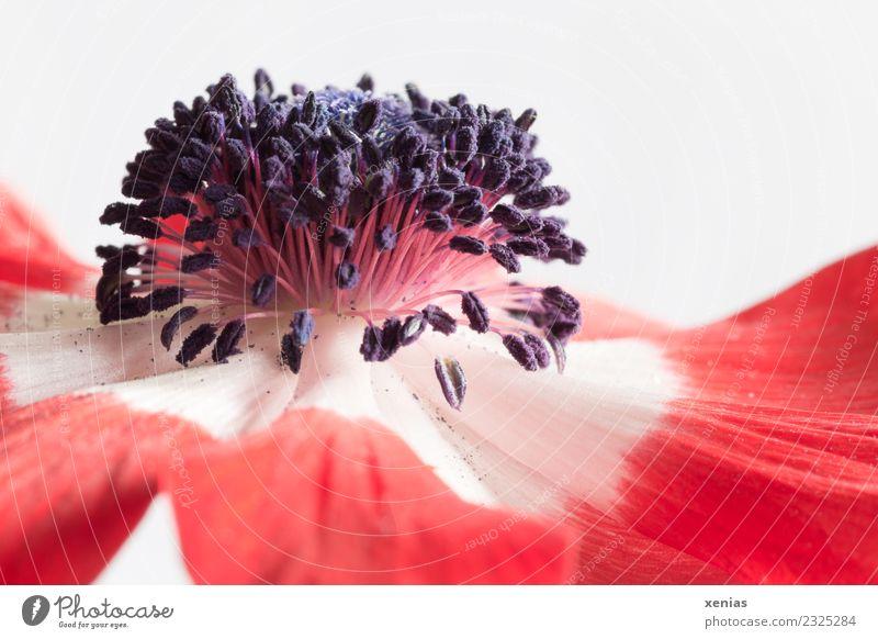 Makroaufnahme einer Anemone in Rot und Weiß Anemonen Blume Blüte rot schwarz weiß Fruchtknoten Hahnenfußgewächse Blütenblatt Staubfäden Studioaufnahme