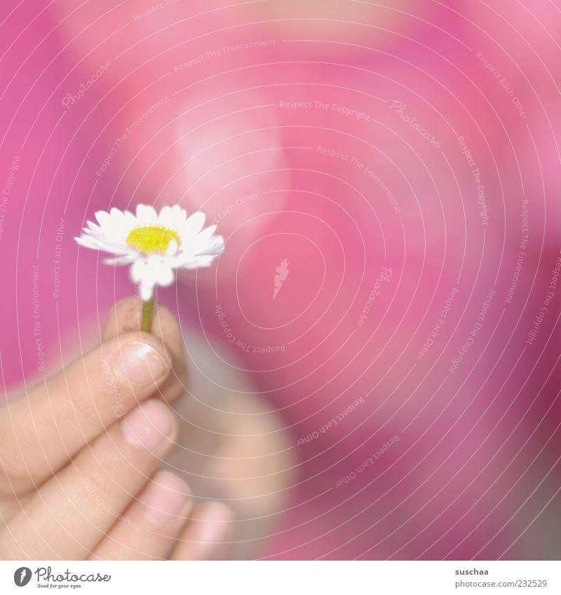 für euch ... Frühling Schönes Wetter Blume Blüte Blühend rosa Gänseblümchen Hand Finger stoppen schenken Außenaufnahme Nahaufnahme Textfreiraum rechts Unschärfe
