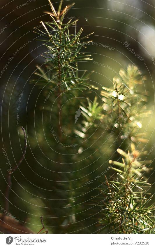 Nadelbaum-Detail grün Baum Pflanze Leben hell Stimmung glänzend Wachstum leuchten Idylle zart stachelig Lichtpunkt Zweige u. Äste Lichtbrechung