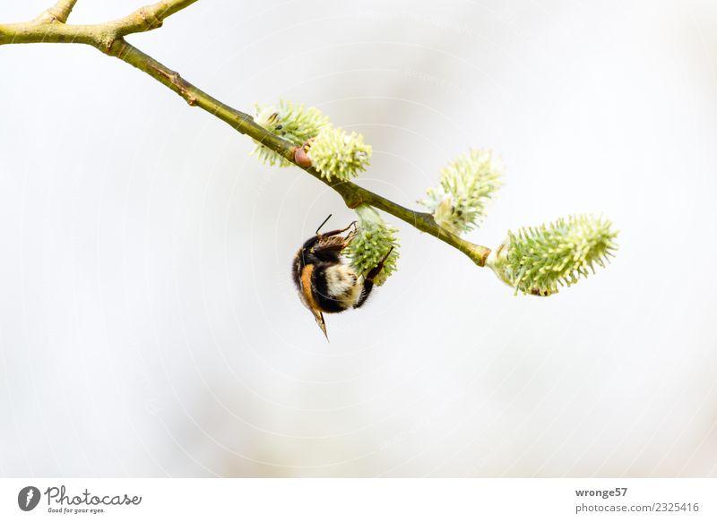 Hummel an einem Weidenkätzchen Natur grün Tier schwarz gelb Blüte Frühling natürlich braun Arbeit & Erwerbstätigkeit Wildtier Blühend Zweig nah Insekt hängen