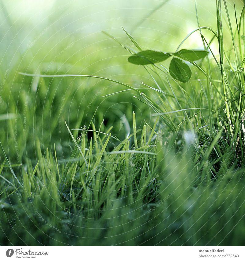 Klee Glück Leben harmonisch Wohlgefühl Zufriedenheit Erholung Umwelt Natur Pflanze Erde Frühling Sommer Gras Blatt Grünpflanze Wildpflanze Kleeblatt Garten