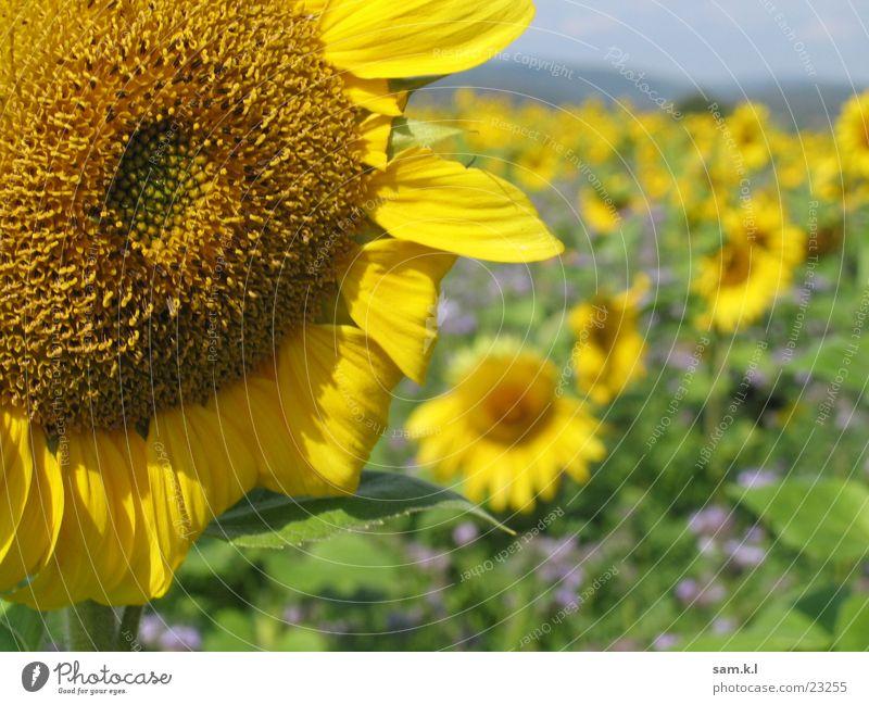 SUNenblume Sonnenblume gelb Blume grün Pflanze Makroaufnahme Landschaft