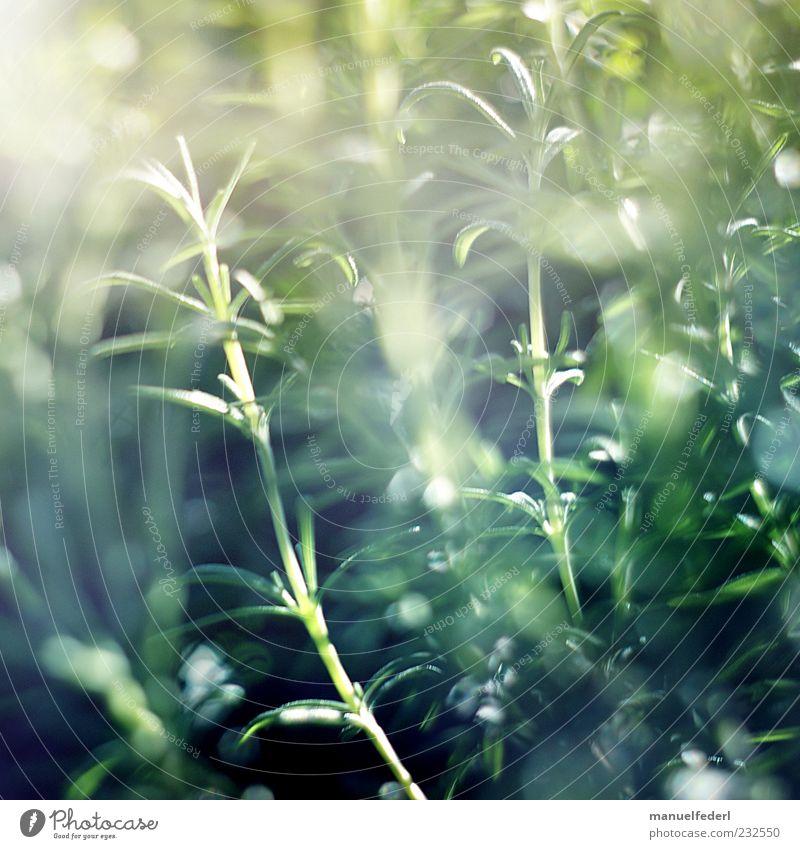 Rosmarin Natur grün Pflanze Sommer Blatt Garten Glück Frühling Zufriedenheit ästhetisch Kräuter & Gewürze Stengel Lebensfreude genießen Duft Geruch