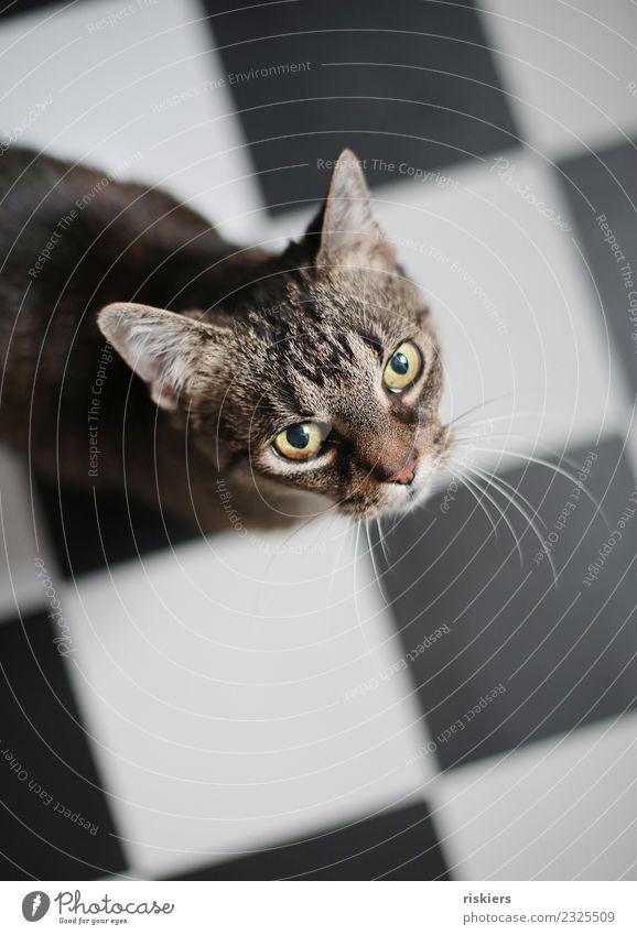hello kitty Tier Haustier Katze 1 beobachten Blick warten schön Neugier niedlich Küche Fliesen u. Kacheln Farbfoto Innenaufnahme Licht Schwache Tiefenschärfe