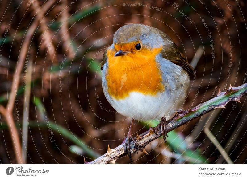 Rotkehlchen mein kleiner Freund Natur Tier Vogel Flügel festhalten fliegen dick authentisch einfach fantastisch frech frei braun rot Liebe Tierliebe