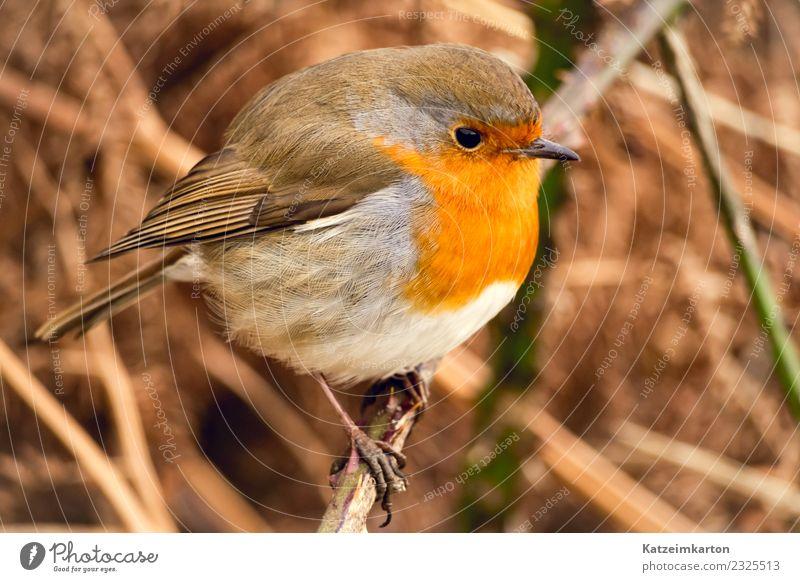 Rotkehlchen im Portrait Natur Frühling Sträucher Tier Wildtier Vogel Flügel 1 beobachten genießen hocken stehen warten ästhetisch authentisch Glück schön klein