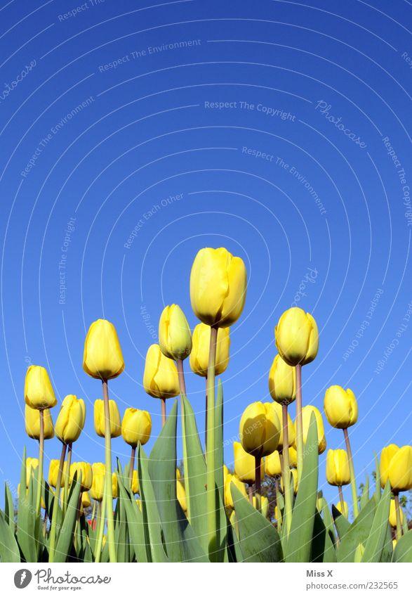 der Sonne entgegen Natur schön Pflanze Blume Blatt gelb Blüte Frühling Wachstum Schönes Wetter Blühend Duft Tulpe Wolkenloser Himmel Frühlingsblume Tulpenfeld