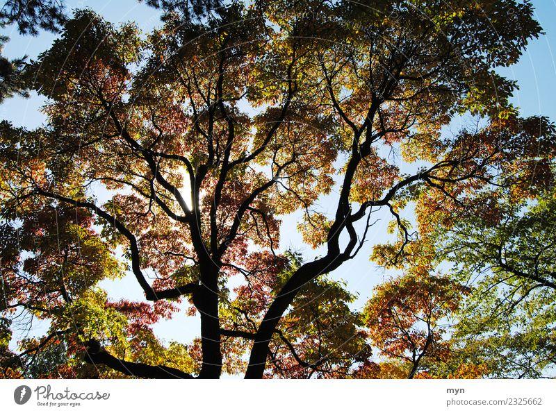 Kanadischer Herbst III Umwelt Natur Pflanze Sonne Sonnenlicht Baum Blatt Grünpflanze Park Wald Urwald Holz verblüht ästhetisch Vergänglichkeit mehrfarbig