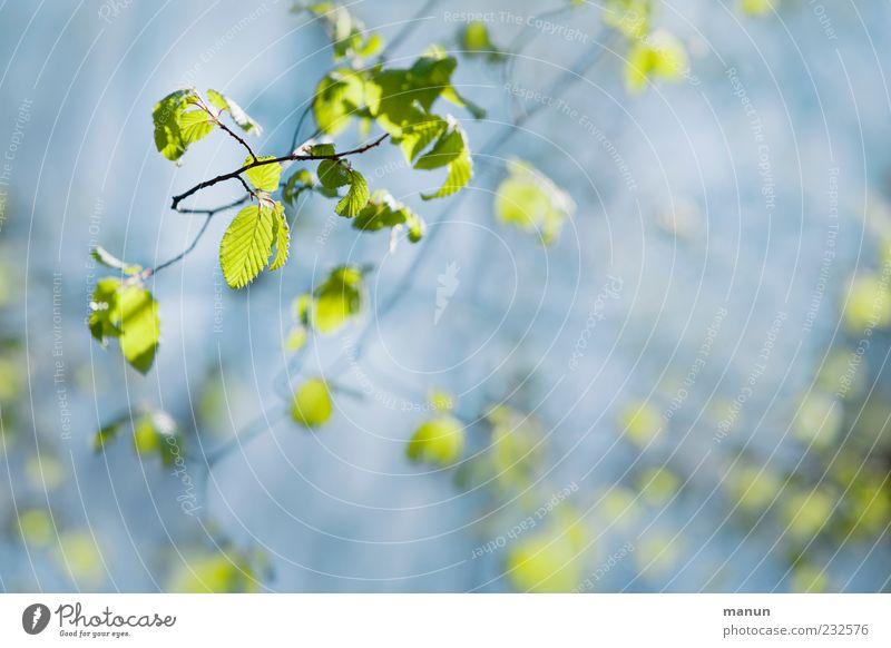 Blättchengrün Natur blau grün schön Blatt Frühling hell Wachstum Frühlingsgefühle Zweige u. Äste Frühlingsfarbe zartes Grün Naturwuchs