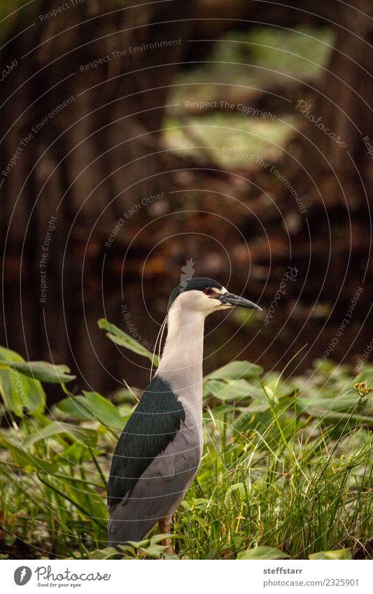 Still Schwarzkroniger Nachtreiher Küstenvogel Nycticorax nycticorax nycticorax Tier Wildtier Vogel 1 blau grün rot weiß Nachtreiher mit schwarzer Krone Reiher