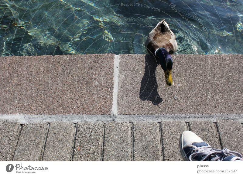 Gieriges Entlein blau Tier Schwimmen & Baden verrückt planen Tiergesicht Mut Appetit & Hunger Ente frech anstrengen sanft Schnabel Chucks Wasseroberfläche füttern