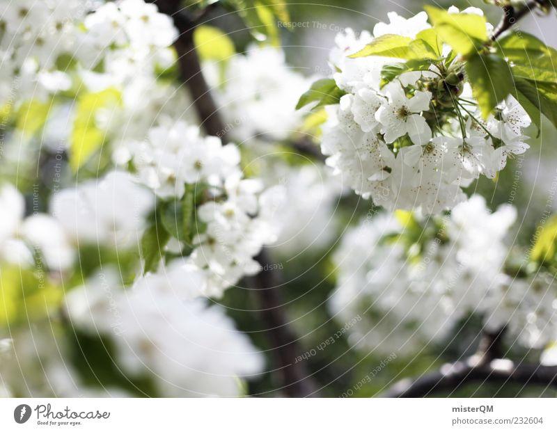 Frühling. Umwelt Natur Pflanze Sonnenlicht Klima Baum Blatt Blüte Nutzpflanze ästhetisch Blühend Frühlingstag Kirschblüten weiß Unschärfe grün Blütenknospen