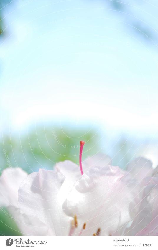 Mädchendings Umwelt Natur Pflanze Himmel Frühling Schönes Wetter Blume Blüte exotisch frisch klein blau rosa rot weiß Duft Kitsch Leichtigkeit Farbfoto
