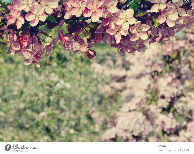 Befruchter Natur Baum Pflanze Sommer Blume Blüte Frühling rosa violett Blühend Blütenblatt Apfelbaum hängend Fertilisation Apfelblüte