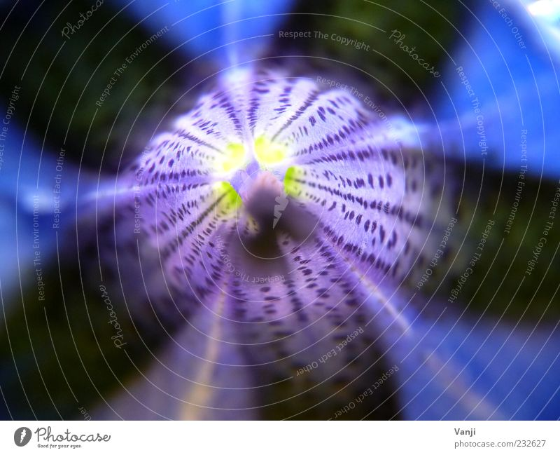 Schwarz-Blau Natur Pflanze Blume Umwelt Blüte Frühling ästhetisch Fröhlichkeit Blütenblatt Blütenstempel prächtig Muster Blütenstiel