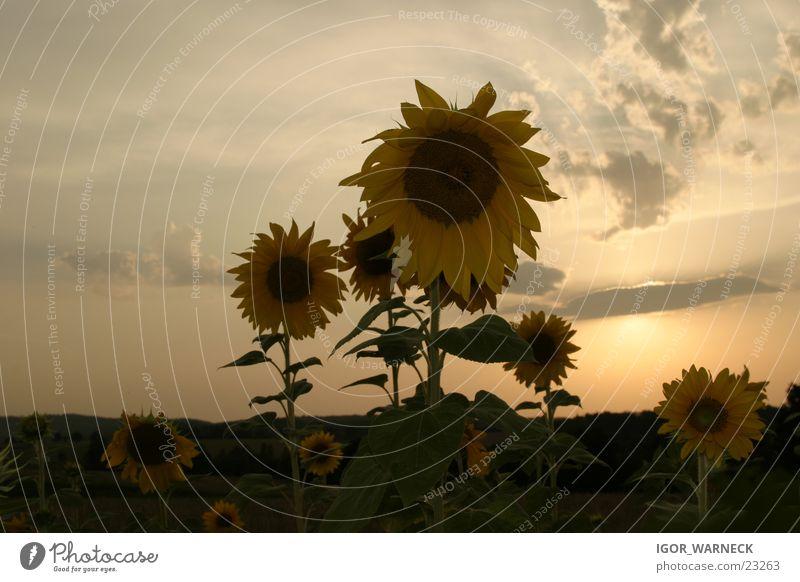 Sonnenblumen Showdown gelb