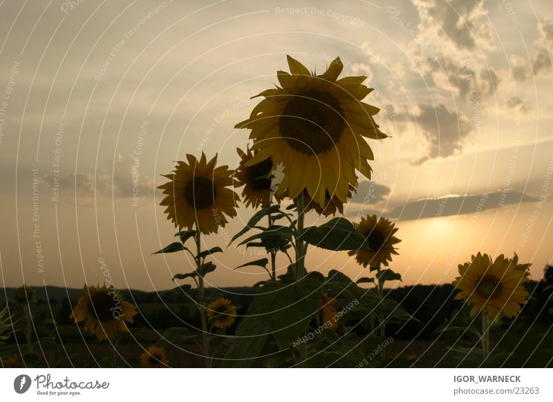 Sonnenblumen Showdown Sonne gelb Sonnenblume