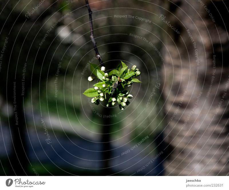 Knospenträgerstelle Natur grün Baum Pflanze Blatt Umwelt Blüte Frühling frisch Ast einzeln zart Mitte Blühend Baumstamm Zweig