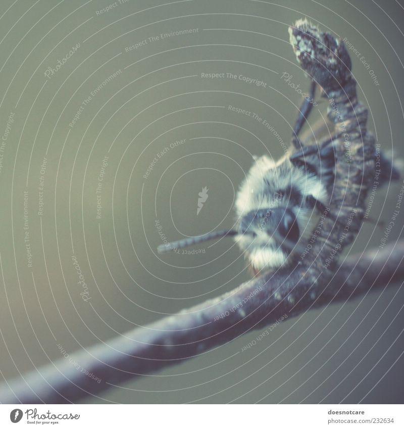 clmbr. Natur Tier sitzen Ast Klettern Insekt Biene Zweig bleich krabbeln Fühler Licht Facettenauge