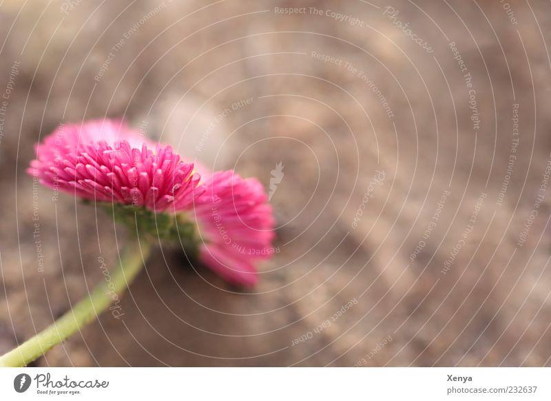 Rosa Reloaded Natur grün Pflanze Blume Blüte Frühling braun rosa Blühend Stengel Lebensfreude Gänseblümchen Makroaufnahme Blütenblatt