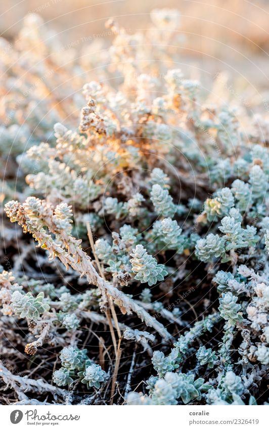Schöne Pflanzen im Winter Natur Sträucher Grünpflanze maritim orange türkis Stranddüne Strandspaziergang Wegrand Eis Frost Winterlicht winterfest Wintersonne