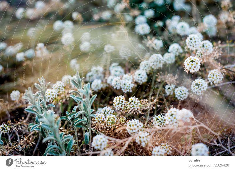 Zartes Heidekraut am Strand Natur Pflanze Farbe Landschaft weiß Winter Frühling Wiese Kopf elegant Wachstum ästhetisch Sträucher Blühend viele