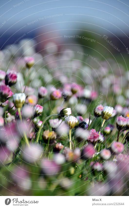 Tausend Tausendschön Natur weiß schön Pflanze Sommer Blume Blatt Wiese Gras klein Garten Blüte Frühling rosa geschlossen Wachstum