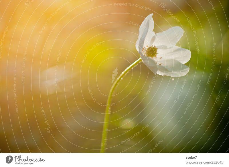 Frühblüher Natur Blume Wärme Blüte Zufriedenheit Wachstum leuchten einzigartig Idylle zart Blühend Stengel Tau Blütenblatt Sonnenstrahlen Buschwindröschen