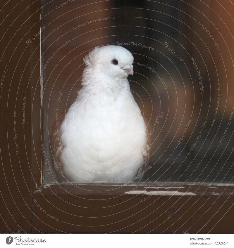 auf die liebste warten weiß schön Tier Auge Fenster Holz Kopf braun Vogel Zufriedenheit Glas sitzen beobachten Taube Schnabel Nutztier