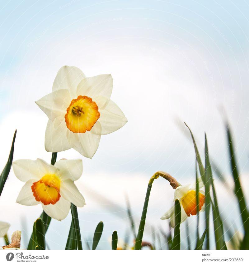 Osterglöckchen Umwelt Natur Pflanze Himmel Wolken Frühling Schönes Wetter Blume Blüte Blühend schön Glück Fröhlichkeit Frühlingsgefühle Vorfreude Wachstum