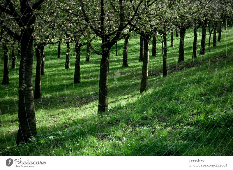 Obstordnung Natur grün Baum Umwelt Frühling Ordnung Schönes Wetter Blühend diagonal Reihe parallel Berghang Kirschblüten Frühlingsgefühle Kirschbaum aufgereiht