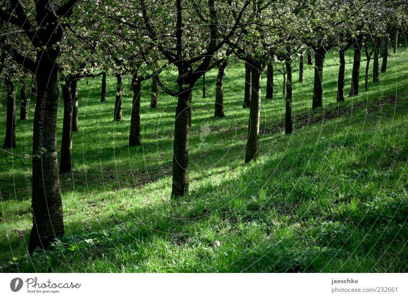 Obstordnung Umwelt Natur Frühling Schönes Wetter Baum Nutzpflanze Blühend grün aufgereiht Ordnung Ordnungsliebe Kirschbaum parallel Reihe Berghang Obstbaum