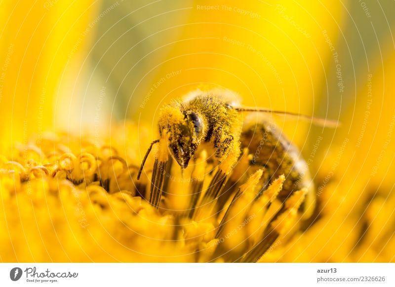 Makro Honig Biene sammelt gelbe Pollen auf Sonnenblume in Natur Pflanze Sommer schön Tier ruhig Freude Wärme Leben Gesundheit Umwelt Frühling Liebe Wiese