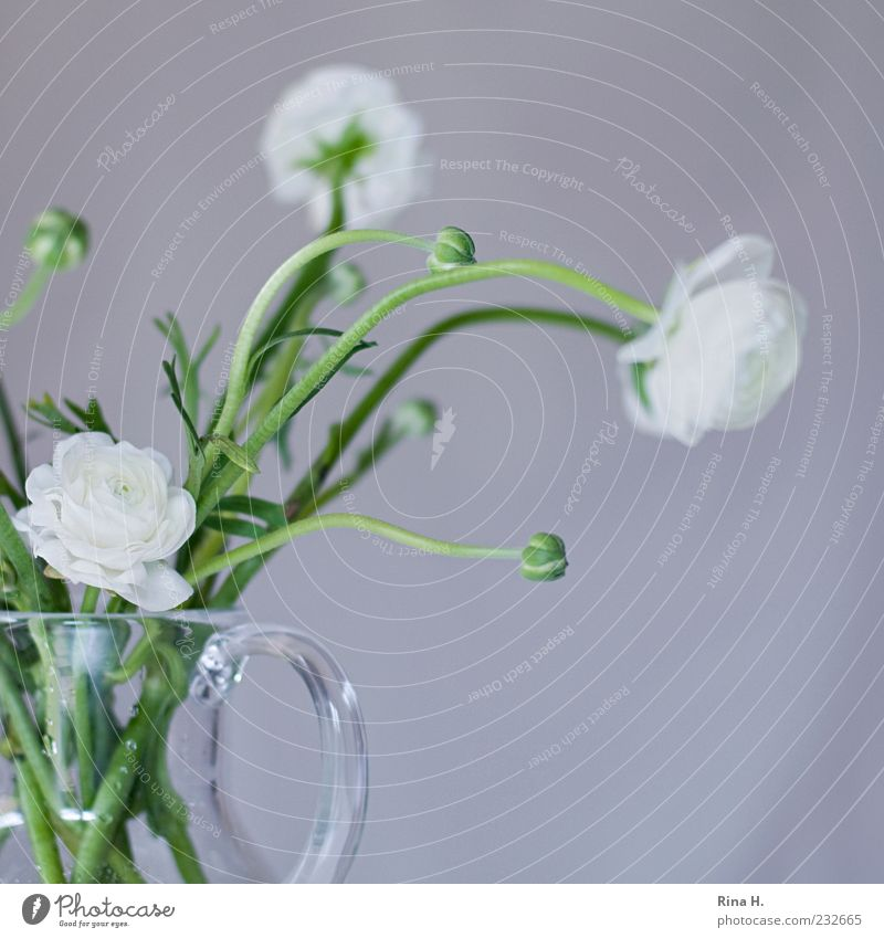 Weiße Ranunkeln Frühling Blume Blüte Dekoration & Verzierung Blühend frisch hell positiv grün weiß Frühlingsgefühle Vase Glasvase Blumenstrauß Innenaufnahme