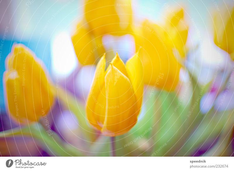 Bunte Blumen Natur Pflanze gelb Blumenstrauß Duft Tulpe Blütenblatt