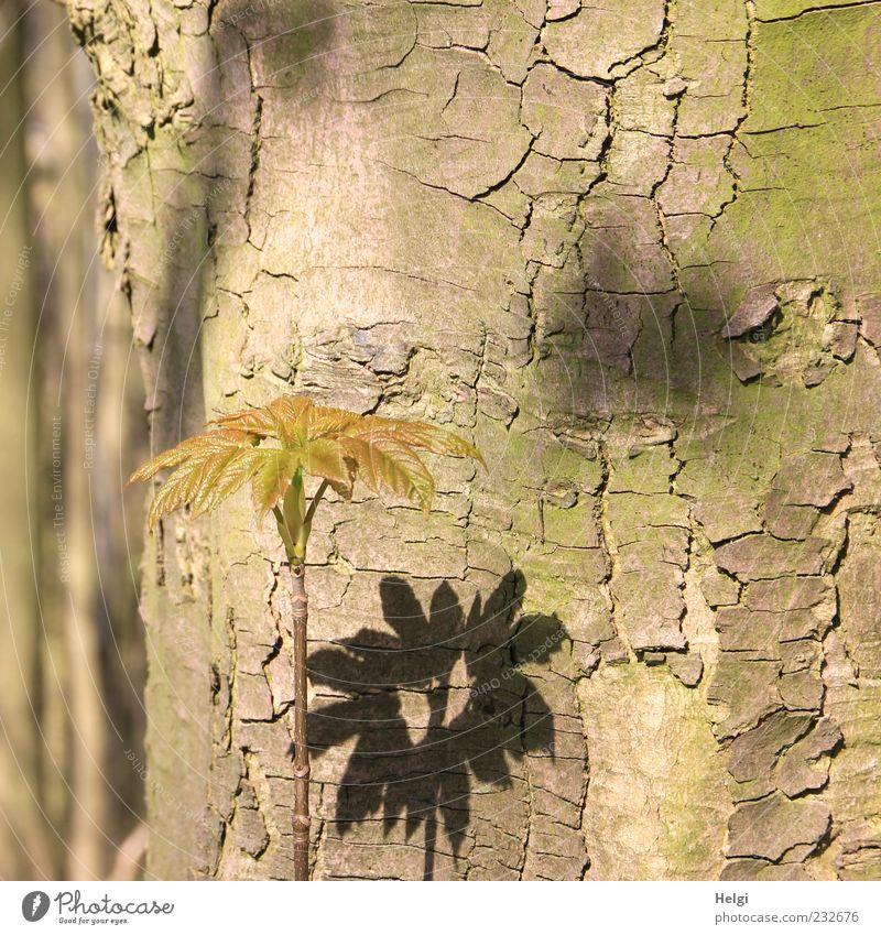 alter Baumstamm, an dem ein  junger Trieb mit Blättern Schatten wirft Umwelt Natur Pflanze Frühling Schönes Wetter Blatt Holz stehen Wachstum ästhetisch frisch