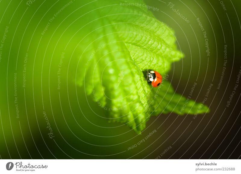 Willkommen im Frühling! Umwelt Natur Pflanze Tier Blatt Wildtier Käfer 1 Tierjunges krabbeln klein grün rot schwarz Glück Marienkäfer Insekt Farbfoto mehrfarbig