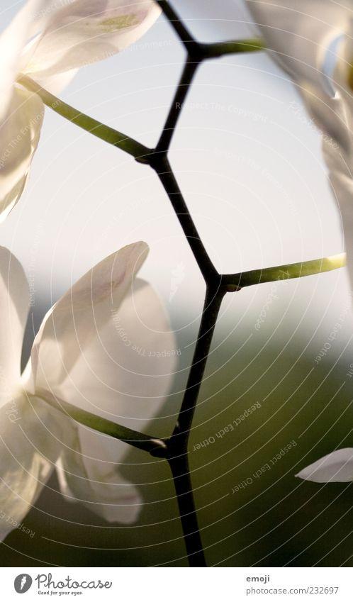 verknüpft Natur Pflanze Frühling Sommer Topfpflanze Orchidee Stengel Synthese Blütenblatt Farbfoto Außenaufnahme Tag Licht Schwache Tiefenschärfe Sonnenlicht