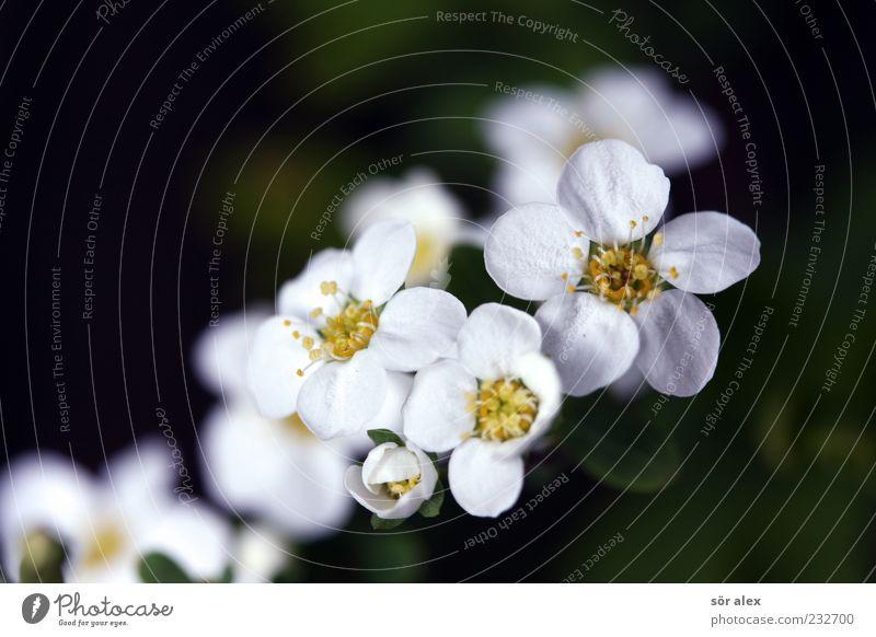 von neuem Natur weiß schön Pflanze Blume Leben Blüte Frühling Sträucher Romantik Blühend Duft Vorfreude Pollen Blütenblatt
