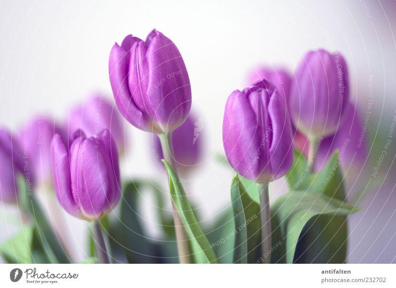 Sanfte Tulpen weiß grün Pflanze Blume Freude Blatt Glück Blüte frisch ästhetisch Fröhlichkeit Dekoration & Verzierung weich violett Stengel Blumenstrauß