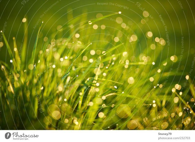 Gras Natur grün Pflanze Wiese glänzend nass Wassertropfen Schönes Wetter Tau Halm Textfreiraum Blendenfleck Licht