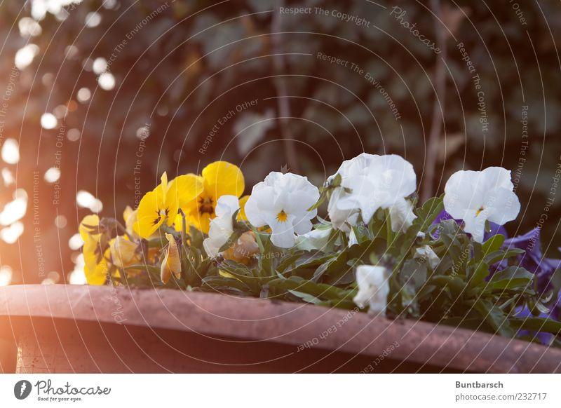 Schiefmütterchen Blumentopf Pflanze Sonnenlicht Frühling Blüte Stiefmütterchen Veilchengewächse gelb grün weiß Frühlingsgefühle Farbe Stimmung Farbfoto