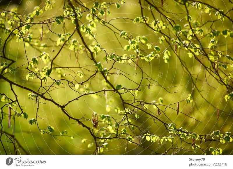Frühlingslaub Natur grün Baum Pflanze Blatt frisch leuchten Schönes Wetter Jahreszeiten Zweig Laubbaum zartes Grün