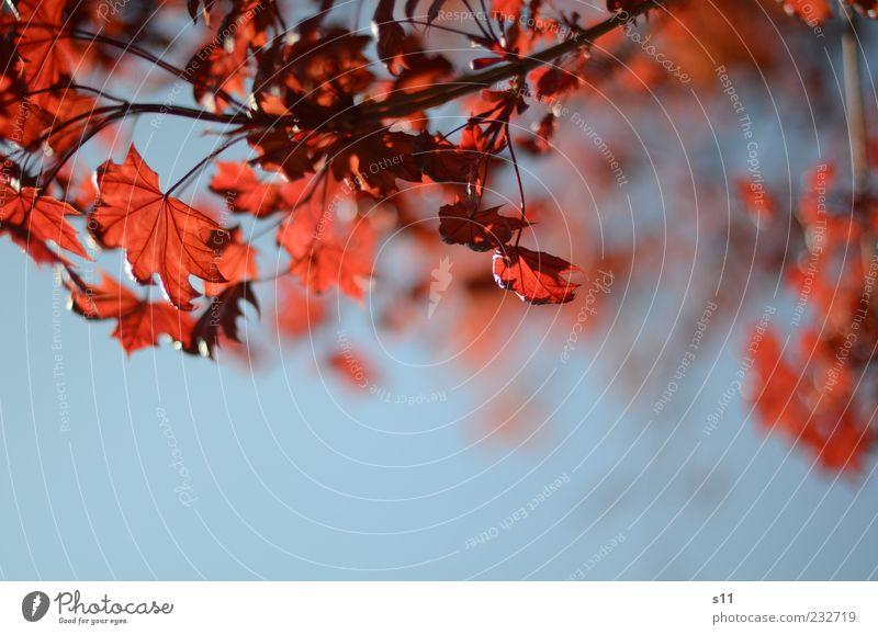 blauer himmel, rote blätter Umwelt Natur Pflanze Luft Himmel Wolkenloser Himmel Sonnenlicht Frühling Sommer Wetter Schönes Wetter Baum Blatt hängen leuchten