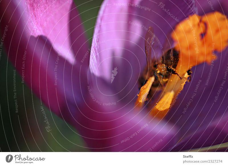 Von Blumen und Bienen Umwelt Natur Pflanze Frühling Blüte Wildpflanze Krokusse Frühlingsblume Frühlingskrokus Blütenblatt Blütenstempel Nektarpflanze Garten