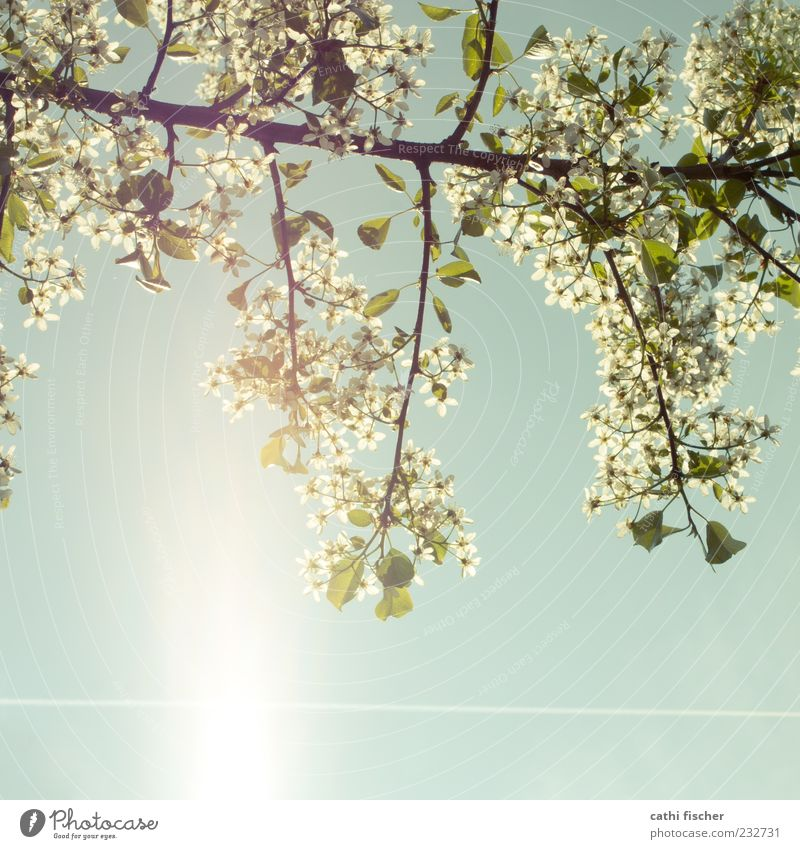 frühling III Natur Himmel Wolkenloser Himmel Sonne Frühling Klima Schönes Wetter Pflanze Blatt Blüte Blühend blau grün weiß Frühlingsgefühle Ast Quadrat